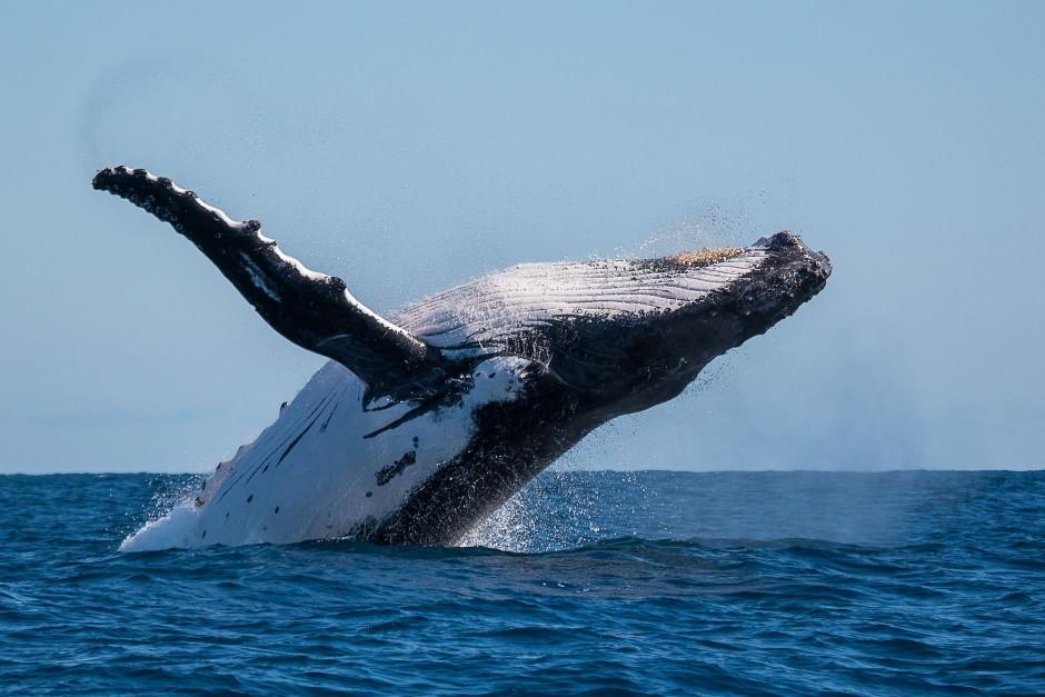 Buckelwale gehören wie Walhaie, Mantarochen, Seekühe, Delphine, Meeresschildkrötenzu zu den Bewohnern des Ningaloo-Riffs.