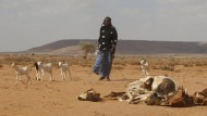 Seit Monaten kein Wasser, null Ernten: Vieh und Mensch leiden derzeit auch im nördlichen Somalia.