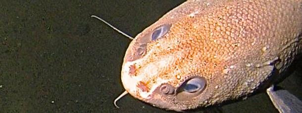 Grenadierfisch in 7000 Metern Tiefe.