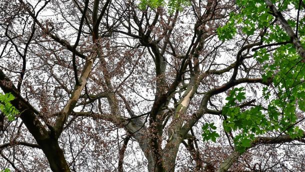 Wir verlieren die heimischen Baumarten