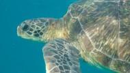 Eine Grüne Meeresschildkröte (Chelonia mydas).  Junge Meeresschildkröten tragen  häufiger Plastik in sich als ältere - und laufen somit größere Gefahr, dadurch zu verenden.