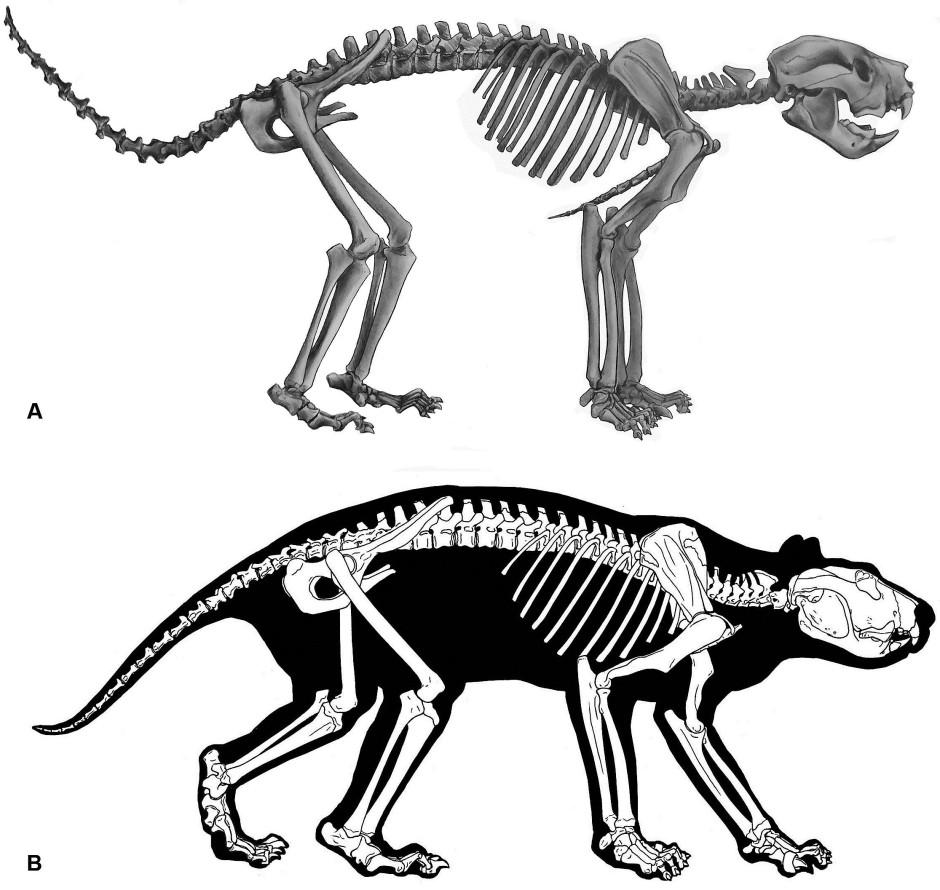 Rekonstruktion des Beutellöwen anhand des Skeletts.
