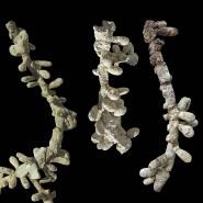 Versteinerte Bienennester aus der mittleren Kreidezeit, geschätztes Alter: 100 Millionen Jahre