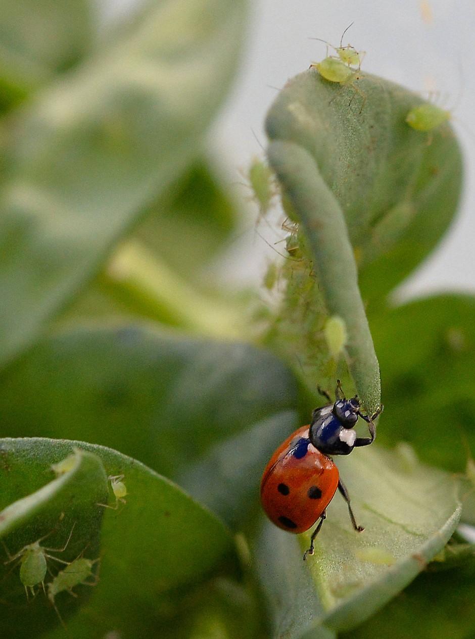 Marienkäfer haben einen großen Appetit auf Blattläuse.
