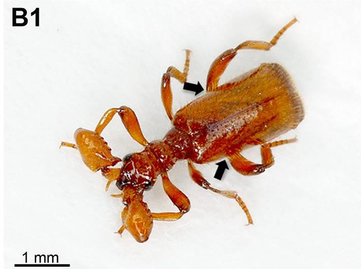 Der Käfer Paussus favieri