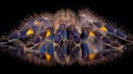 Frontansicht der blauen Vogelspinne P. metallica