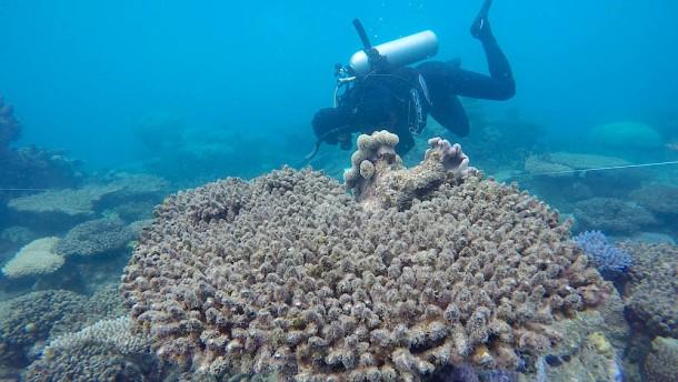 Das Korallensterben schreitet ungebremst voran