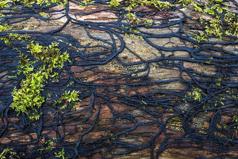 Der Hallimasch breitet sich mit seinen millimeterdicke Pilzfäden, den Rizomorphen, auf verrottendem Holz aus.