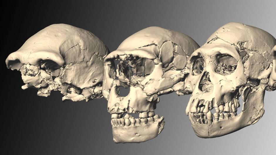 Die fünf rekonstruierten Homo-erectus-Schädel von Dmanisi