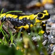 Amphibien wie der vielerorts bedrohte Feuersalamander zählen zu den besonderen Herausforderungen der Genforscher, denn die Tiere besitzen mehr als dreißigmal so viele DNA-Bausteine wie der Mensch.