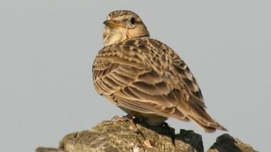Enorme Artenvielfalt: die Feldlerche, ein Singvogel