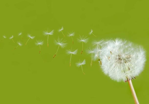 Schirmchen einer Pusteblume tragen die Früchte des Löwenzahns davon.
