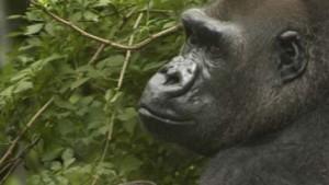 Erst der Gorilla, dann der Mensch?