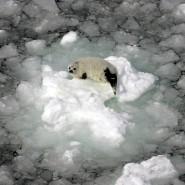 Jungrobbe auf einer Eisscholle vor der kanadischen Küste.