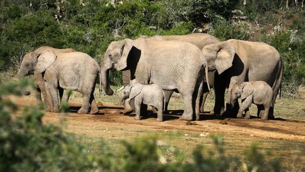 Wilderei bedroht Afrikanische Elefanten