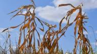 Trockenheit und Dürren bedrohen immer öfter die Nahrungsversorgung.
