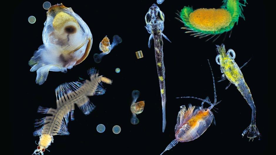Plankton aus dem Pazifik: Vielzeller und Einzeller
