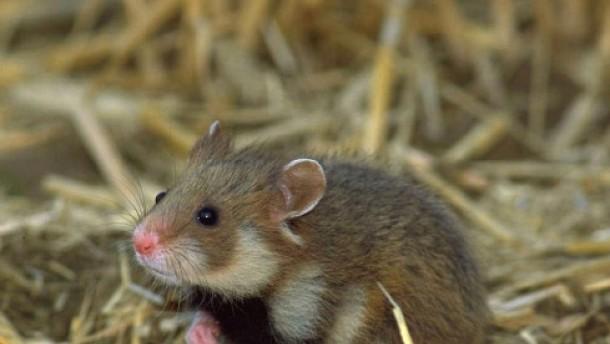 Wie der Hamster das Futter hamstert