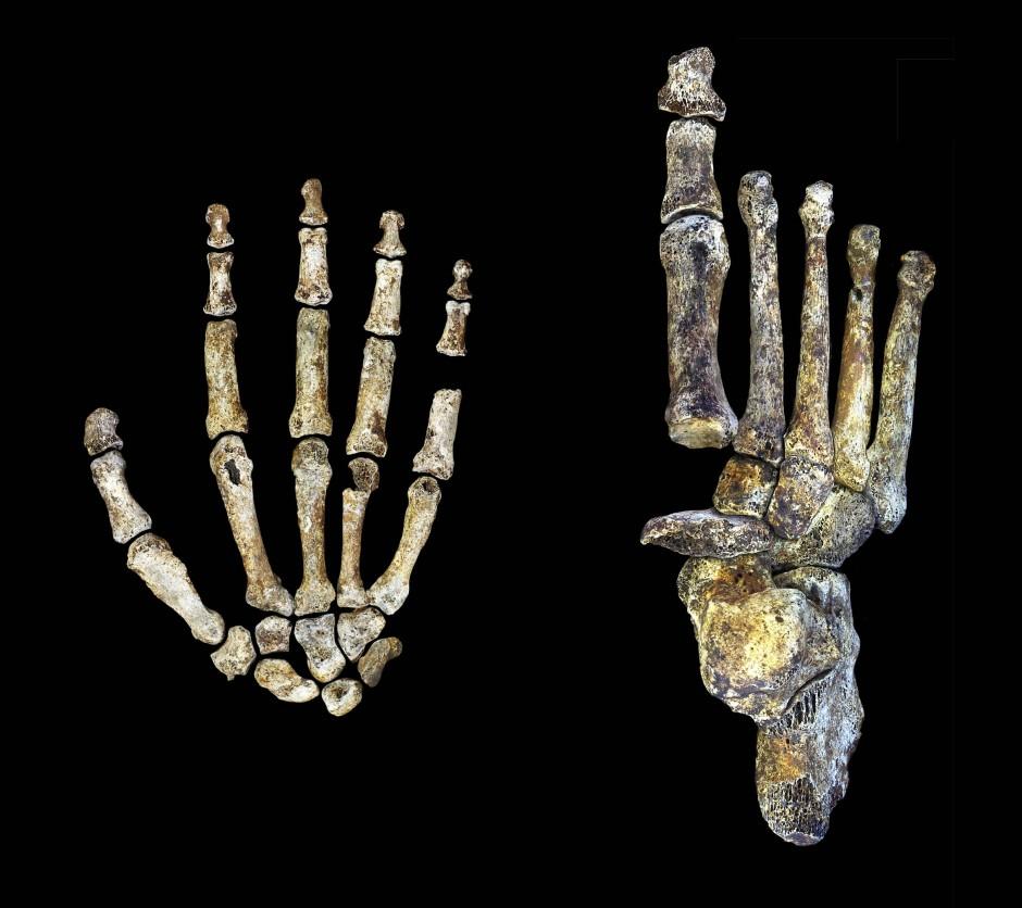 """Auffallend: Die """"Klavierhände"""" mit den langen Fingergliedern und Zehengliedern des Homo naledi."""