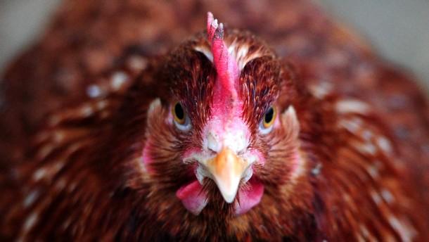 Huhn, auch es hat einen Magnetsinn