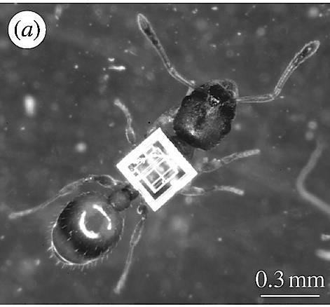 Temnothorax albipennis mit winzigem Funksender
