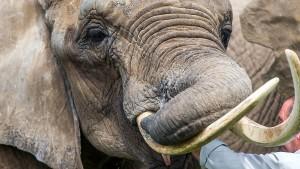 Wilderei kommt Afrika teuer zu stehen