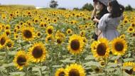 Gedeihen für die Pflanzenmargarine: Sonnenblumenö ist reich an Phytosterinen.