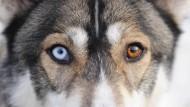 Ein Husky mit verschiedenfarbigen Augen: In den Schlittenhunden fließt das Blut des Taimyr-Wolfes.