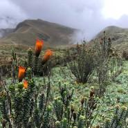 Impressionen vom ersten Aufstieg zum Rucu Pichincha: Was die Alpenrose für den Europäer ist, verkörpert die Chuquiragua für den Anden-Bergsteiger.