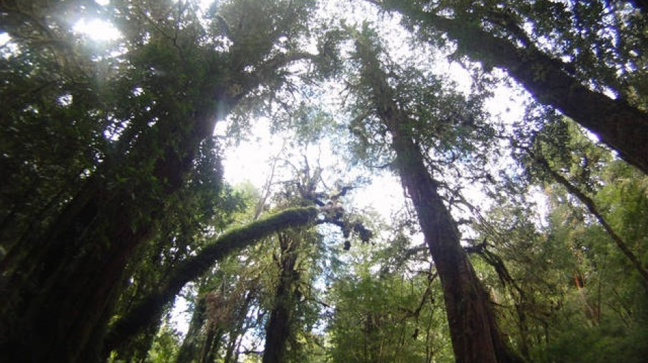 Blick auf die Baumwipfel im Alerce-Andino-National-Park