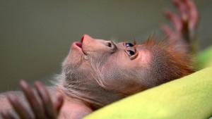 Verwehrte Affenliebe