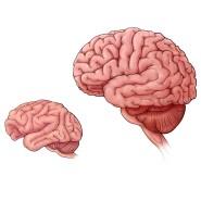 Gehirne im Größenvergleich: Maus, Makaken-Affe, Schimpanse, Mensch.