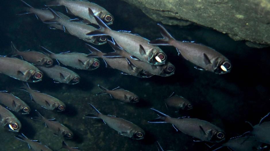 Der Blitzlichtfisch oder Laternenfisch  lebt in Schwärmen im Pazifischen Ozean in einer Tiefe von bis zu 400 Metern.