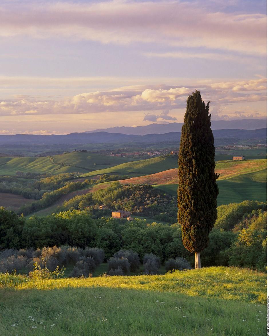 Stolz der Toscana: Zypressen wachsen wie andere Koniferen immer noch an vielen Orten der Welt