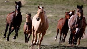Pferdefell klärt die Zuchtgeschichte