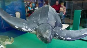 """Lederschildkröte """"Marlene"""" in der Ausstellung """"Mensch und Meer"""" des Meeresmuseum Stralsund"""