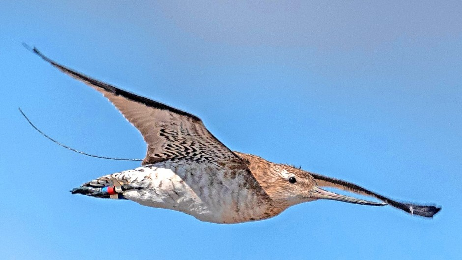 Pfuhlschnepfe 4BRWB, vielleicht der berühmteste Vogel des Jahres 2021, ist an seiner bunten Markierung zu erkennen. Den Funksender trägt das Männchen allerdings auf seinem Rücken. Das Foto wurde zu einem früheren Zeitpunkt in Neuseeland aufgenommen.