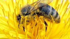 Die flottgemachten Bienen sind zum Ausschwärmen bereit