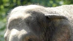 Geburt einer Elefanten-Art