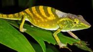 Das Tarzan-Chamäleon entdeckten Forscher auf einem fußballfeldgroßen Stück Regenwald