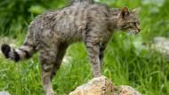 Wildkatzen streifen wieder durch die Wetterau