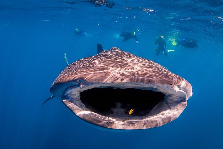 Touristenattraktion: Ein Walhai am Ningaloo-Riff