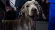 Weimaraner bei einer Hundeshow