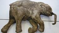 Dieses fast vollständig erhaltene Mammutbaby wurde im Mai 2007 in Nordrussland gefunden.