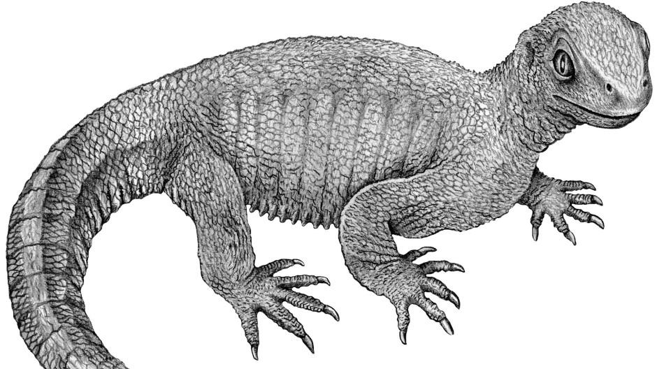 Die Opaschildkröte Pappochelys dürfte einer kräftig gebauten Echse ähnlich gesehen haben.