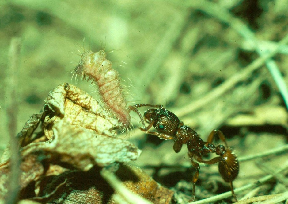 Eine Ameisenarbeiterin bearbeitet  die Honigdrüse einer Raupe des   Schwarzfleckigen Ameisenbläulings. Die Raupe tarnt sich so als Ameisenlarve und wird zur Aufzucht ins Nest transportiert.