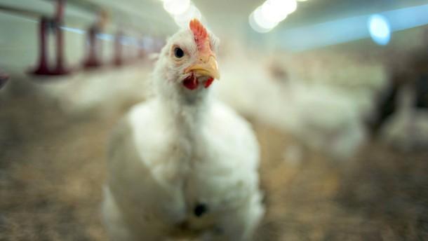 Ein Huhn kommt selten allein