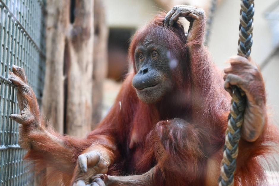 Ein Orang Utan im Affenhaus des Heidelberger Zoos.