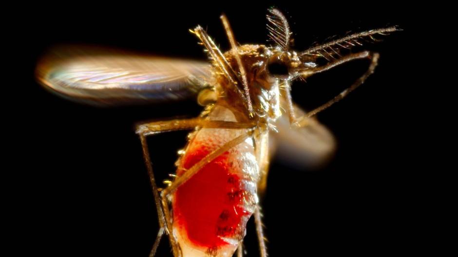 Nur die weiblichen Tigermücken saugen Blut aus ihren Opfern. Dabei können sie auch gefährliche Krankheitserreger übertragen.
