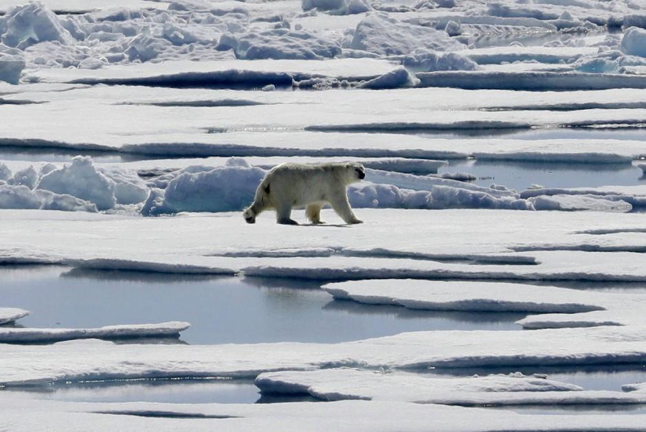 Ein schwerer Gang: Eisbär-Weibchen im nördlichen Kanada.